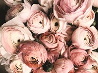 Coral Ranunculus Fine-Art Print