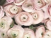 Soft Pink Ranunculus Fine-Art Print