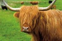 Scottish Highland Cattle I Fine-Art Print