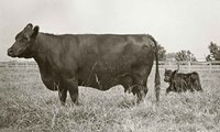 Cow and Baby Fine-Art Print