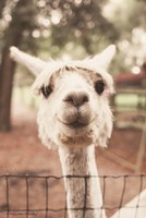 Smiling Alpaca Fine-Art Print