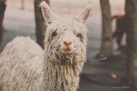 Shabby Alpaca Fine-Art Print