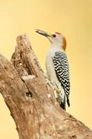 Golden-Fronted Woodpecker Eating A Seed, Linn, Texas Fine-Art Print