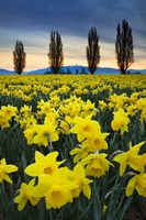 Fields Of Yellow Daffodils In Late March, Skagit Valley, Washington State Fine-Art Print