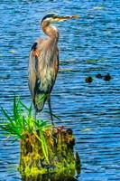 Great Blue Heron, Juanita Bay Park, Kirkland, Washington State Fine-Art Print