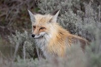 Red Fox Framed By Sage Brush In Lamar Valley, Wyoming Fine-Art Print