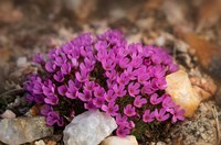 Wyoming, Beartooth Mountains Moss Campion Wildflower Close-Up Fine-Art Print