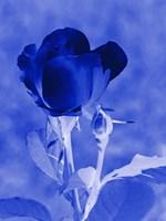 Cobalt Rosebud Fine-Art Print