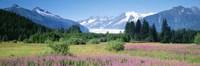 Fireweed, Mendenhall Glacier, Juneau, Alaska Fine-Art Print