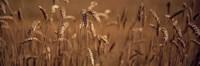 Detail Wheat Fine-Art Print