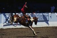Saddle Bronc Rider Fine-Art Print