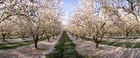 Almond Trees In An Orchard, Central Valley, California Fine-Art Print