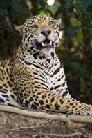 Close-Up Of A Jaguar Snarling Fine-Art Print