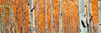 View Of Aspen Trees, Granite Canyon, Wyoming, Fine-Art Print