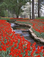 Red Tulips And Brook In Hodges Gardens, Louisiana Fine-Art Print