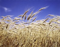 Close-Up Of Heads Of Wheat Stalks Against Blue Sky Fine-Art Print