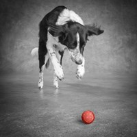 Portrait Of A Border Collie Mix Dog Fine-Art Print