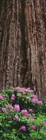 Blooming Rhododendron Below Giant Redwood, Trinidad, California Fine-Art Print