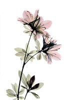 Azalea Fine-Art Print