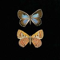 Pair of Butterflies on Black Fine-Art Print