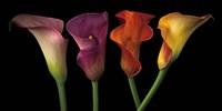 Jewel Calla Lilies Fine-Art Print