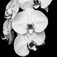 Orchid Portrait I Fine-Art Print