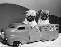 Pug Puppies Sitting In Back Of Toy Truck Fine-Art Print