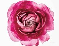 Pink Ranunculus on White Crop Fine-Art Print