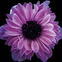 Purple Anemone Crop Fine-Art Print