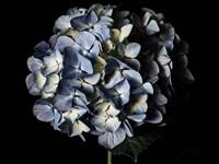 Pale Blue Hydrangea Fine-Art Print