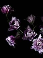 Purple Fringed Tulips III Fine-Art Print