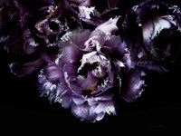 Purple Fringed Tulips II Fine-Art Print