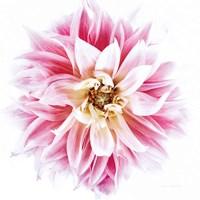 Pink Dahlia Fine-Art Print