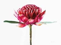 Waratah Flower Fine-Art Print