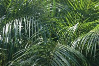 Tropical Fronds Fine-Art Print