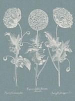 Besler Poppies IV Fine-Art Print