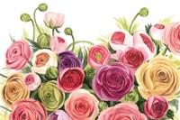 Ranunculus Panorama Fine-Art Print