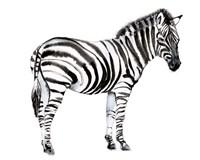 Standing Zebra I Fine-Art Print