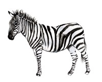 Standing Zebra II Fine-Art Print