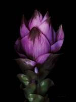 Siam Tulip Fine-Art Print