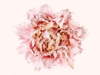 Pink Fringed Tulip Fine-Art Print