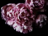 Pink Double Tulips Fine-Art Print