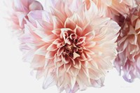Peach Dahlias Light Fine-Art Print