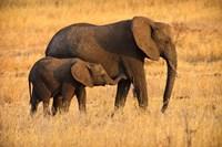 Mother and Baby Elephants Fine-Art Print