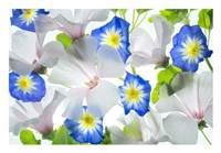 Hybiscus and Blue Ensign flower Fine-Art Print