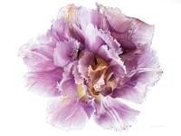 Purple Double Open Fine-Art Print