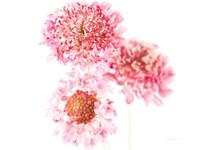 Pink Scabiosa Trio Fine-Art Print