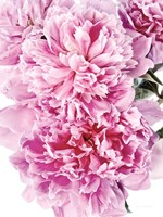 Pink Peony Cluster Fine-Art Print