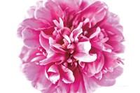 Pink Peony Closeup Fine-Art Print