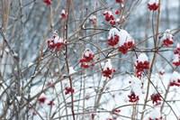 Berries in Winter Fine-Art Print